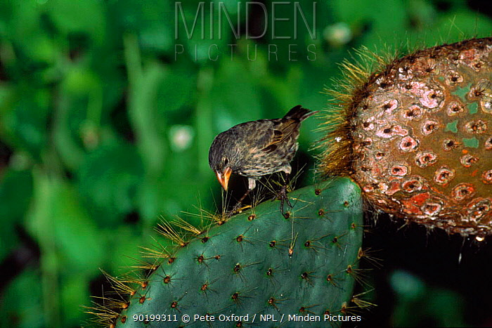 Large cactus ground finch (Geospiza conirostris) Tower (Genovesa) Is, Galapagos, tool making Book page 88  -  Pete Oxford/ npl