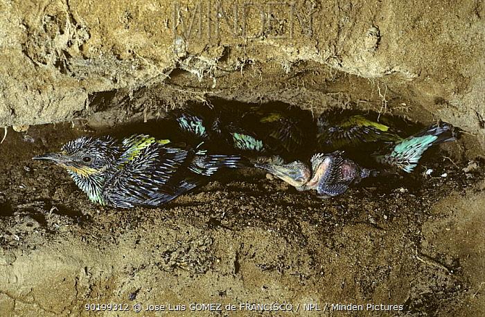 European bee eater chicks in nest in cliff (Merops apiaster) Spain  -  Jose Luis Gomez De Francisco/ np