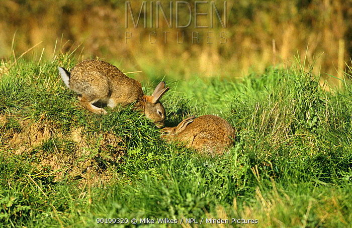 European rabbits greeting (Oryctolagus cuniculus) Worcestershire, UK  -  Mike Wilkes/ npl