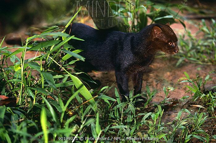 Jaguarundi (Felis yagouaroundi) captive, Amazonia, Ecuador  -  Pete Oxford/ npl