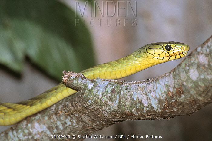 Western green mamba (Dendroaspis virids) captive  -  Staffan Widstrand/ npl