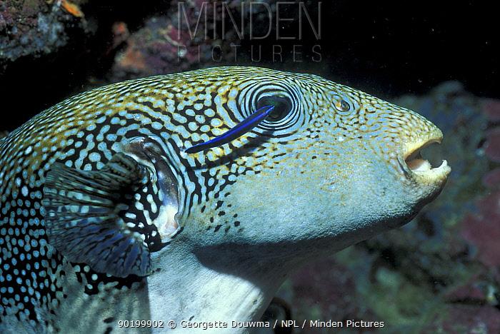 Map pufferfish and Cleaner fish (Arothron mappa) Andaman sea  -  Georgette Douwma/ npl