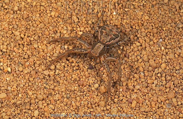 Wolf spider camouflaged on sand (Arctosa perita) Germany  -  Ingo Arndt/ npl