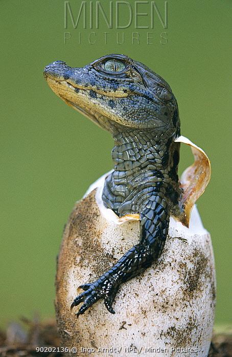 Broad nosed caiman hatching from egg (Caiman latirostris) Sante Fe, Argentina, Project  -  Ingo Arndt/ npl