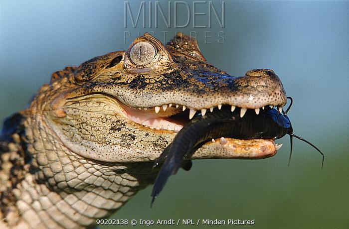Broad nosed caiman holding catfish in jaws (Caiman latirostris) Sante Fe, Argentina, South America  -  Ingo Arndt/ npl