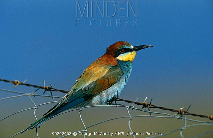 Minden Pictures stock photos - Blue cheeked bee eater (Merops ...