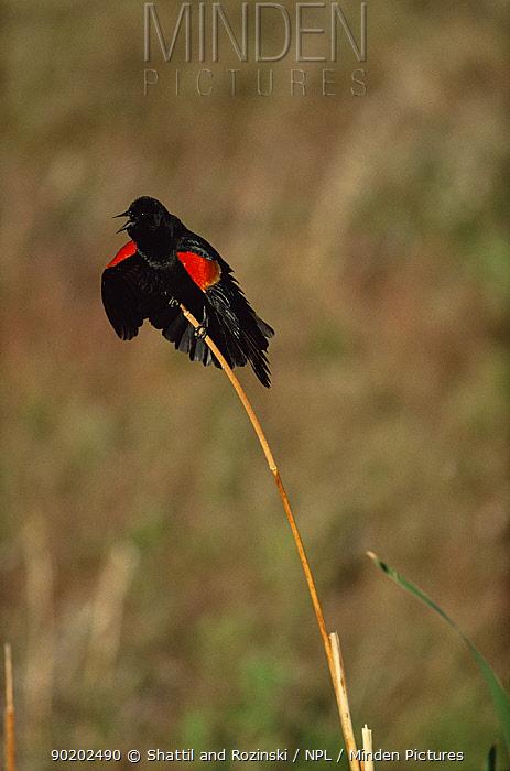 Red winged blackbird displaying {Agelaius phoeniceus} Colorado, USA  -  Shattil & Rozinski/ npl