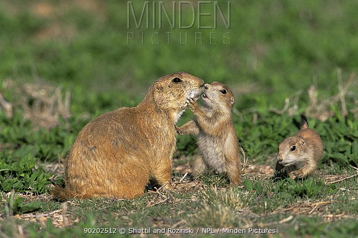 Black tailed prairie dog interacting with babies {Cynomys ludovicianus} Colorado, USA  -  Shattil & Rozinski/ npl
