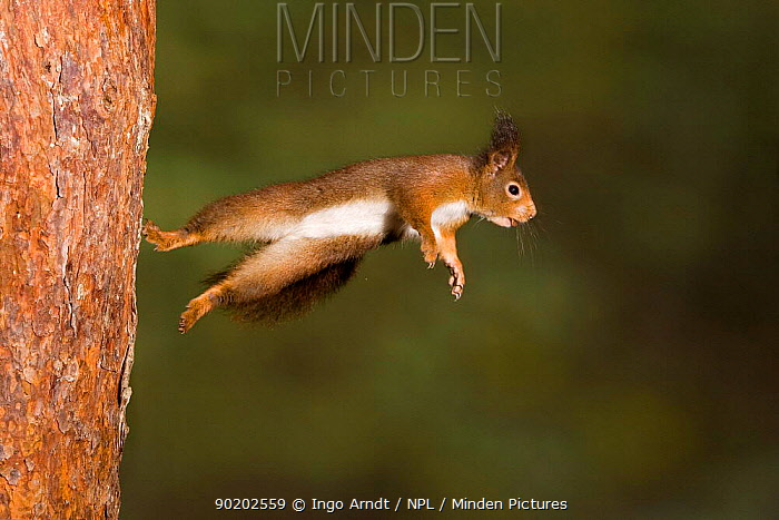Red squirrel leaping from tree trunk (Sciurus vulgaris) Germany sequence 2, 3  -  Ingo Arndt/ npl