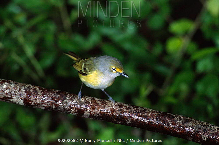 White eyed vireo (Vireo griseus) Texas, USA  -  Barry Mansell/ npl
