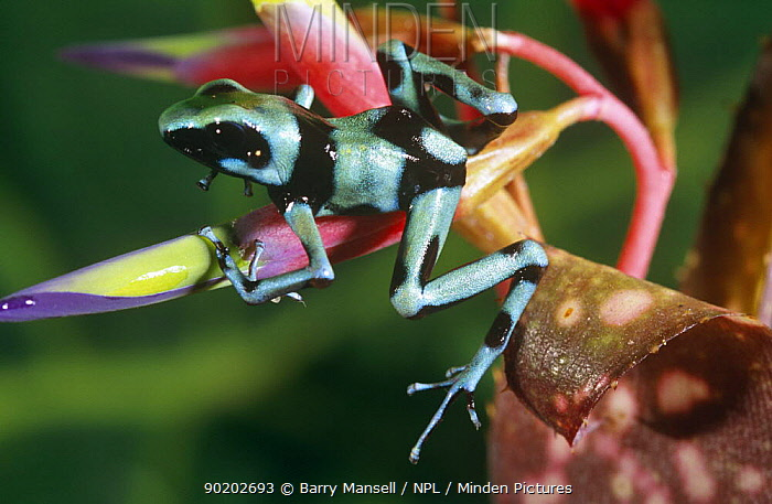 Green poison arrow frog (Dendrobates auratus)South America  -  Barry Mansell/ npl