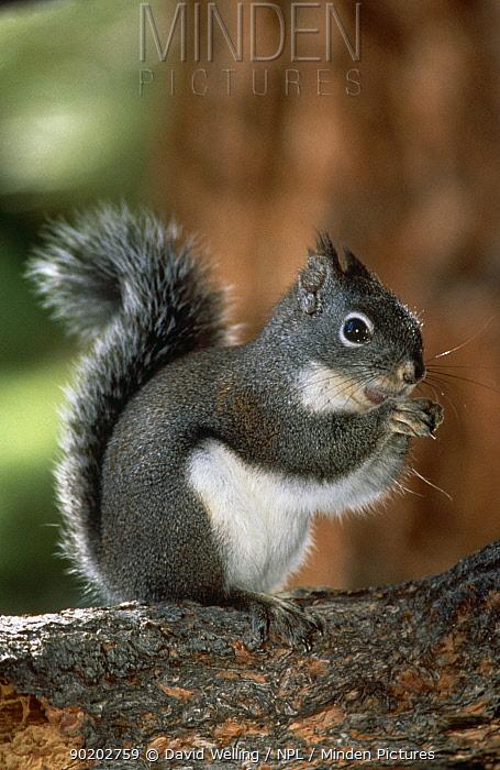 Douglas fir squirrel (Tamiasciurus douglasii) in pine tree, Mammoth Lakes, California, USA  -  David Welling/ npl