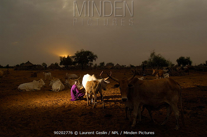 Fulani woman milking cattle at dawn, North Senegal, West Africa, 2005  -  Laurent Geslin/ npl