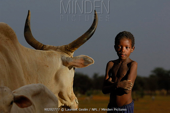 Fulani boy with cattle, North Senegal, West Africa, 2005  -  Laurent Geslin/ npl
