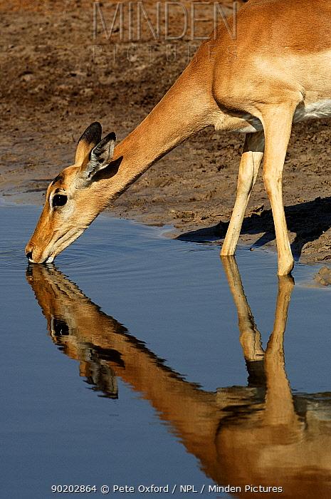 Impala (Aepyceros melampus) drinking at waterhole Okavango Delta, Botswana, Southern Africa  -  Pete Oxford/ npl
