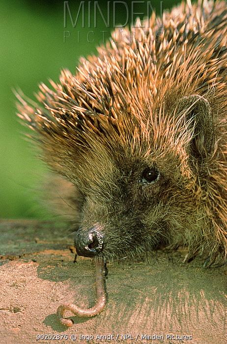 Hedgehog eating earthworm (Erinaceus europaeus) Germany  -  Ingo Arndt/ npl