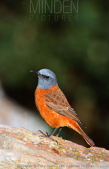 Male Cape rock thrush (Monticola rupestris) Giants Castle, South Africa  -  Tony Heald/ npl