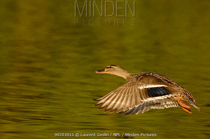 Mallard female flying (Anas platyrhynchos) UK  -  Laurent Geslin/ npl