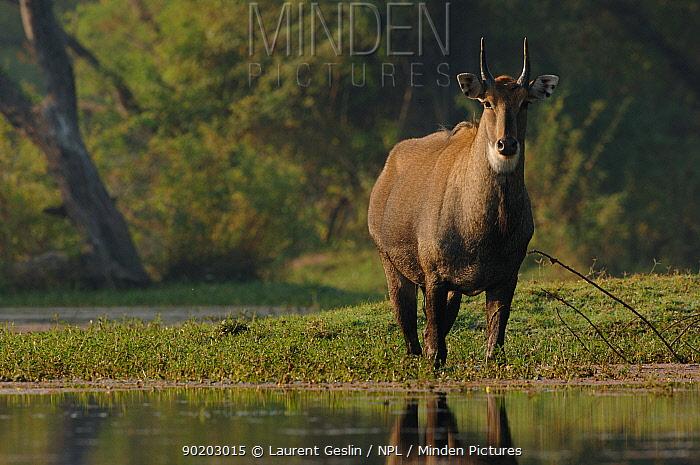 Nilgai (Boselaphus tragocamelus) male India  -  Laurent Geslin/ npl
