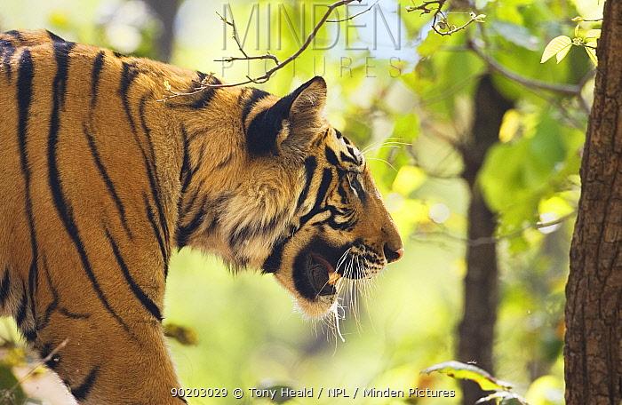 Tiger (Panthera tigris) Bandhavgarh National Park, India 2007  -  Tony Heald/ npl