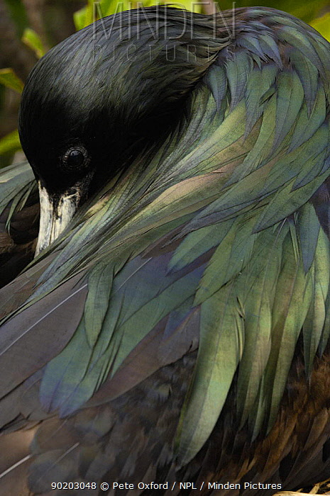 Great frigatebird (Fregata minor) female preening, Galapagos  -  Pete Oxford/ npl