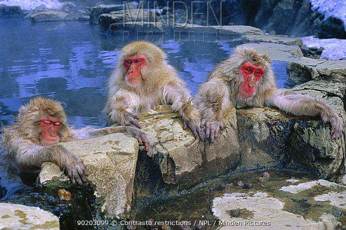 Japanese macaques warming in hot pool (Macaca fuscata) Jigokudani Yaen-Koen, Japan, snow monkeys  -  Jeff Foott/ npl