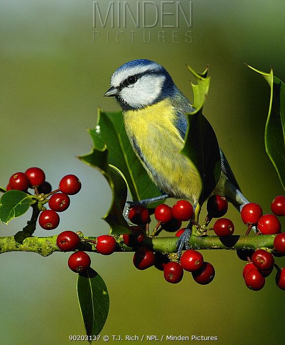Blue tit on holly (Parus caeruleus) Wiltshire UK  -  T.J. Rich/ npl