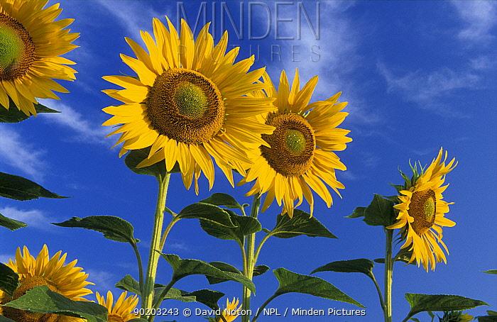 Sunflowers (Helianthus annuus) Lussan, Languedoc, France  -  David Noton/ npl