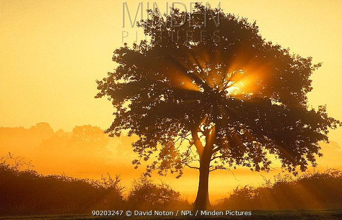 Misty dawn with tree, nr Castle Cary, Somerset, England, UK  -  David Noton/ npl