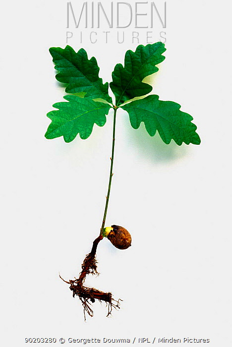 English oak seedling showing roots and leaves (Quercus robur) UK  -  Georgette Douwma/ npl
