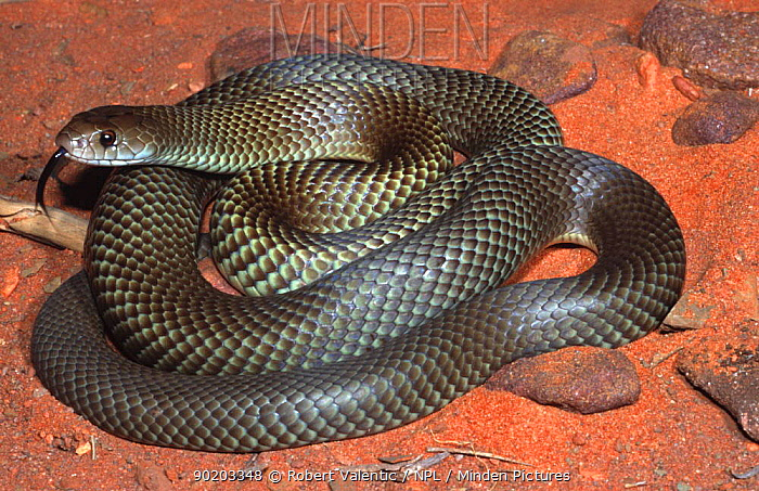 Minden Pictures stock photos - Adult male King brown snake