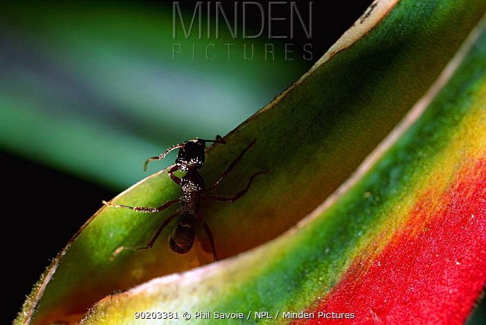 Ponerine ant (Ectatomma ruidum) feeds on (Heliconia rostrata) nectar South America  -  Phil Savoie/ npl