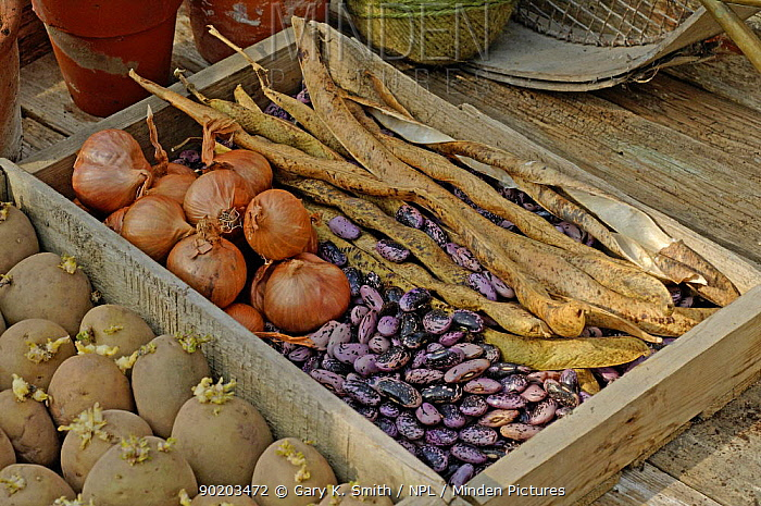 Garden still life, potting shed with runner bean seeds, seedling potatoes and shallots  -  Gary K. Smith/ npl
