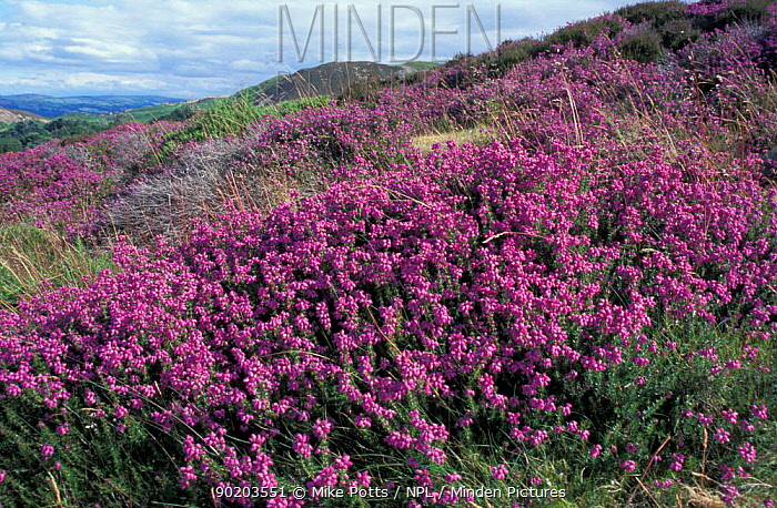 Bell heather (Erica cinerea) Conwy mountains, Gwynedd, Wales, UK  -  Mike Potts/ npl