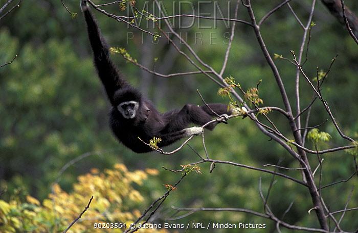 White handed gibbon, alpha female (Hylobates lar) in tropical rainforest, Khao Yai  -  Justine Evans/ npl