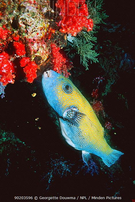 Map pufferfish (Arothron mappa) feeding Andaman sea, Thailand  -  Georgette Douwma/ npl