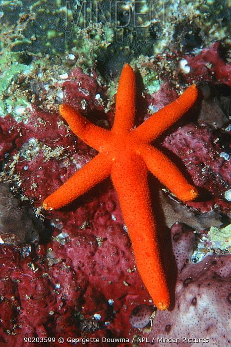Comet arm of Orange starfish (Echinaster luzonicus) Asexual reproduction Moluccas  -  Georgette Douwma/ npl