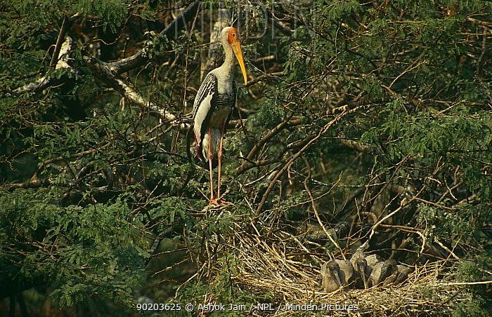 Painted Stork (Mycteria leucocephala) stands guard over chicks in nest, Keoladeo NP, Bharatpur, Rajasthan, India  -  Ashok Jain/ npl
