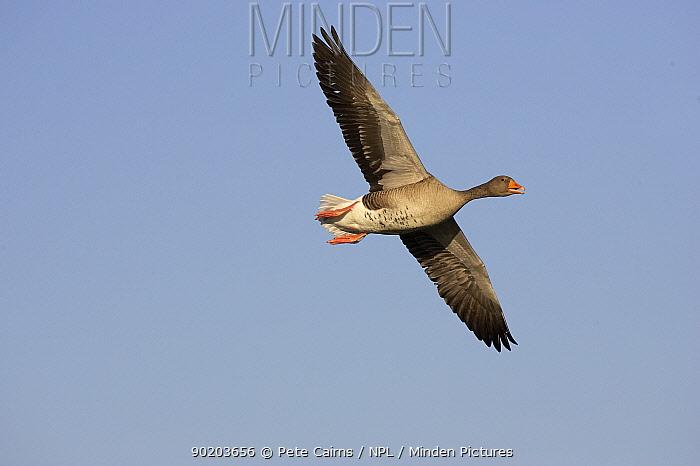 Greylag goose (Anser anser) in flight, Solway Firth, Scotland, UK  -  Pete Cairns/ npl