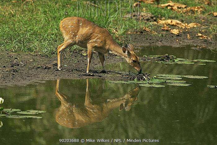 Western bushbuck antelope (Tragelaphus scriptus) drinking at pond, Gambia, West Africa  -  Mike Wilkes/ npl