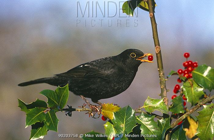 Blackbird feeding on holly berries (Turdus merula) Worcestershire, UK  -  Mike Wilkes/ npl
