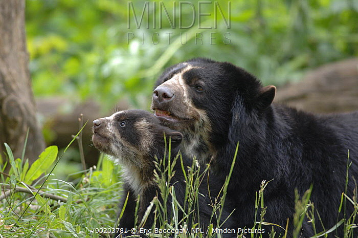 Female Spectacled bear (Tremarctos ornatus) with 3-month cub, captive occurs South America  -  Eric Baccega/ npl
