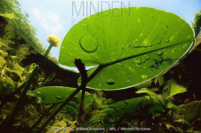 Underwater view of Yellow water lily (Nuphar lutea) and Shining pondweed, garden pond, Holland  -  Willem Kolvoort/ npl