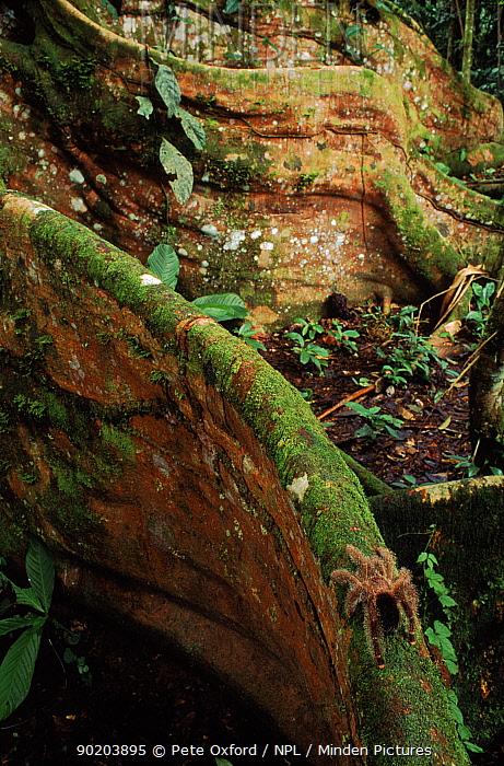 Tarantula on buttress root of Ficus (fig) species tree, Yasuni NP, Ecuador  -  Pete Oxford/ npl