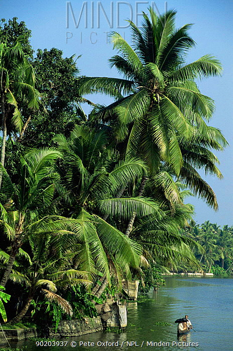 Palm trees over Allepey backwaters Kerala, Southern India  -  Pete Oxford/ npl
