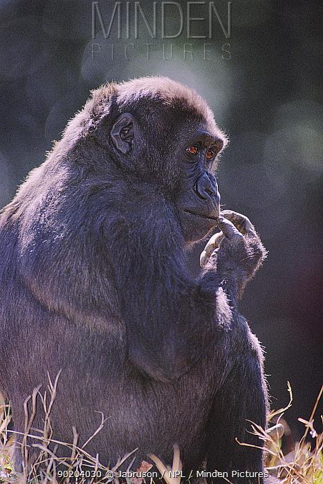 Western lowland gorilla sitting (Gorilla g gorilla) captive, Atlanta Zoo, USA  -  Jabruson/ npl
