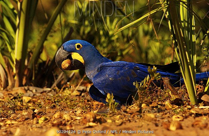 Hyacinth macaw feeding on palm nuts (Anodorhynchus hyacinthinus) Cerrado, Piaui  -  Pete Oxford/ npl