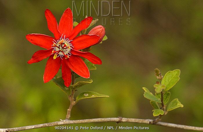 Passion fruit flower (Passiflora sp) Caatinga, Brazil  -  Pete Oxford/ npl