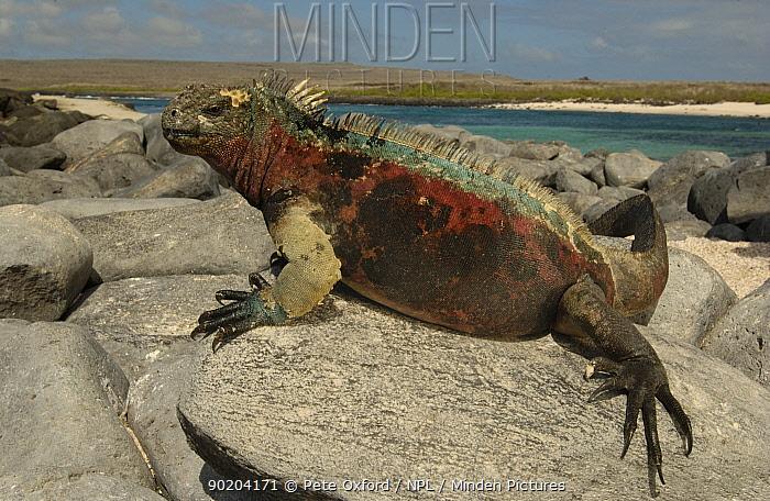 Marine iguana sunning (Amblyrhynchus cristatus) Hood Is, Galapagos  -  Pete Oxford/ npl