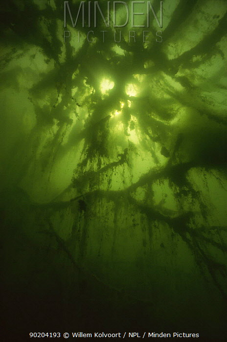 (Algae) on branches of tree that has fallen into sand winning pit, Holland  -  Willem Kolvoort/ npl